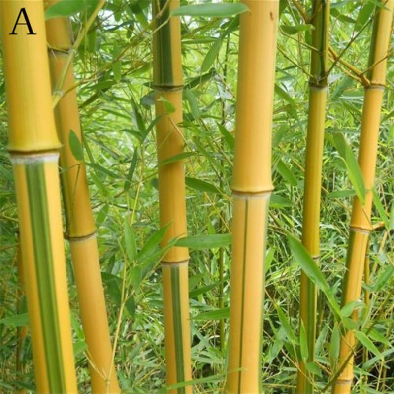 AttractiveFine Chengzi 100 Chiếc Hạt Giống Pubpubg Moso-Hạt Giống Tre Trang Trí Cây Cảnh Trồng Vườn
